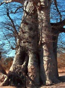 enseignement oral en Afrique sous les baobabs